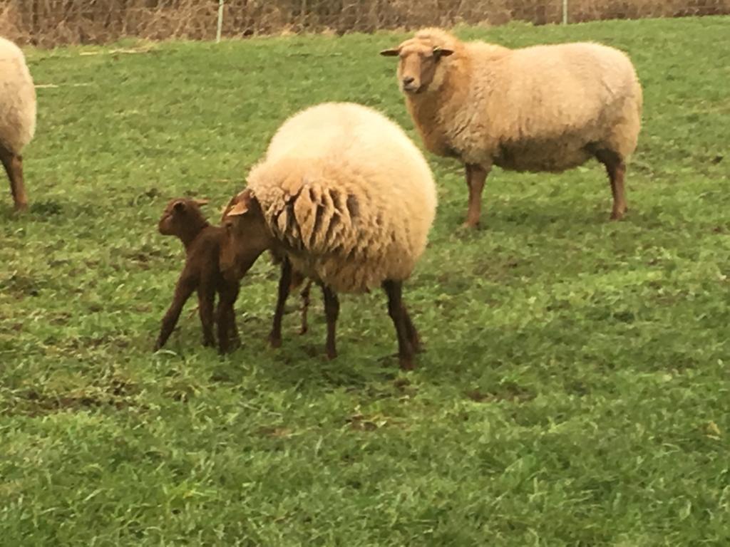 Het eerste lam van Grazeland is geboren!